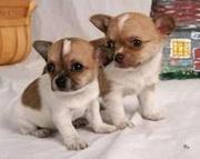 две заботы щенков chihauhua готовы идти